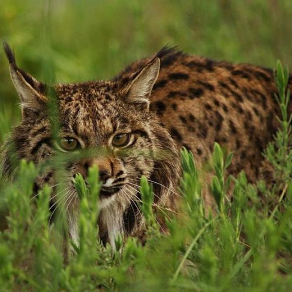 Lince-2